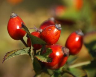 How Rosehip Oil Can Help Your Skin Look Great